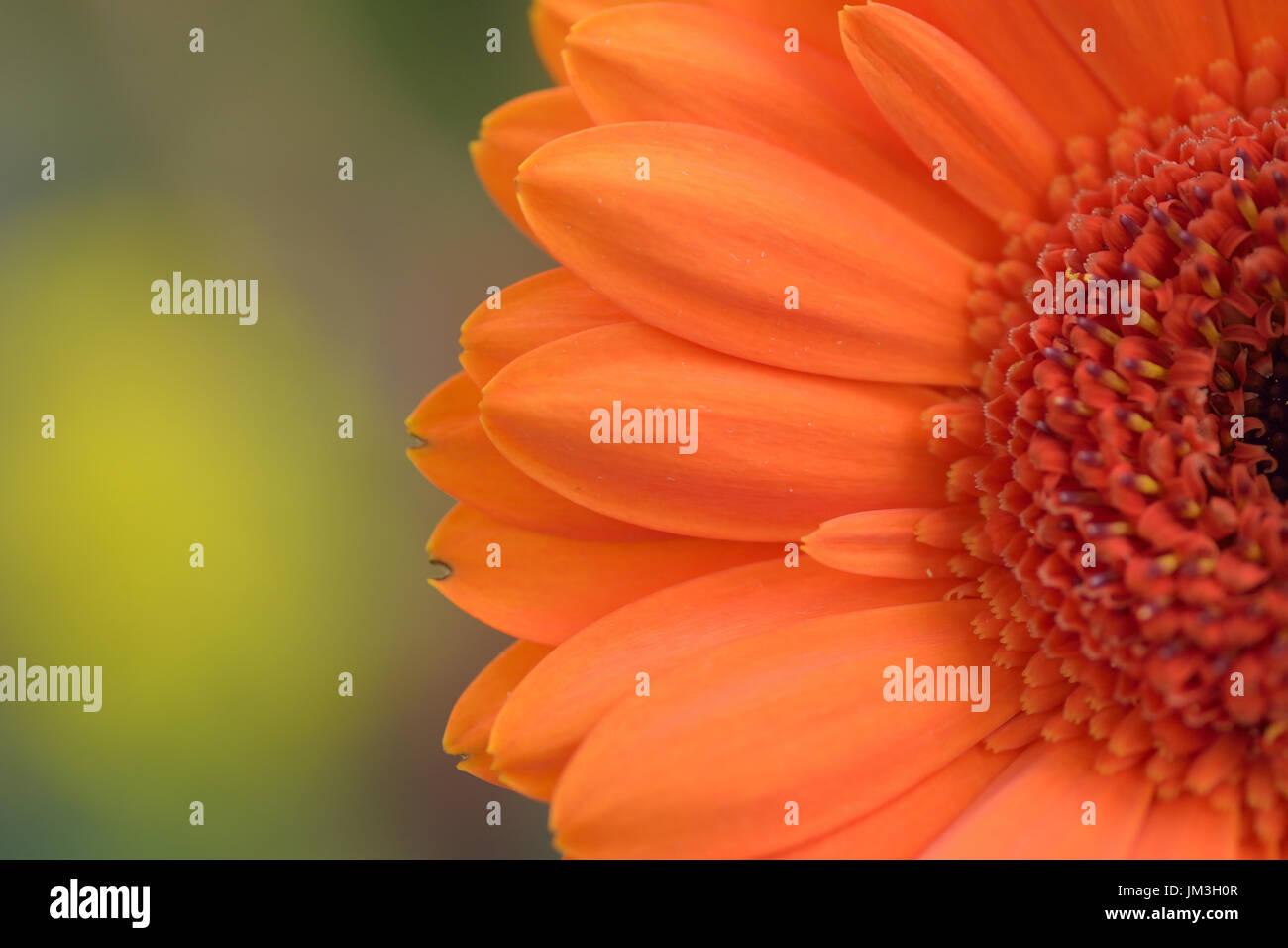 Macro details of orange colored Daisy flower in horizontal frame - Stock Image
