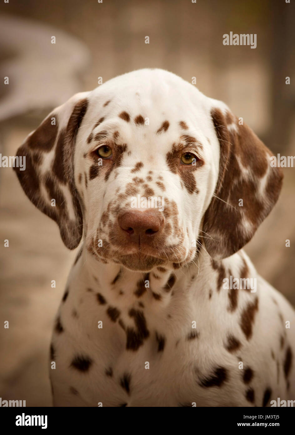 portrait of a brown Dalmatian puppy - Stock Image