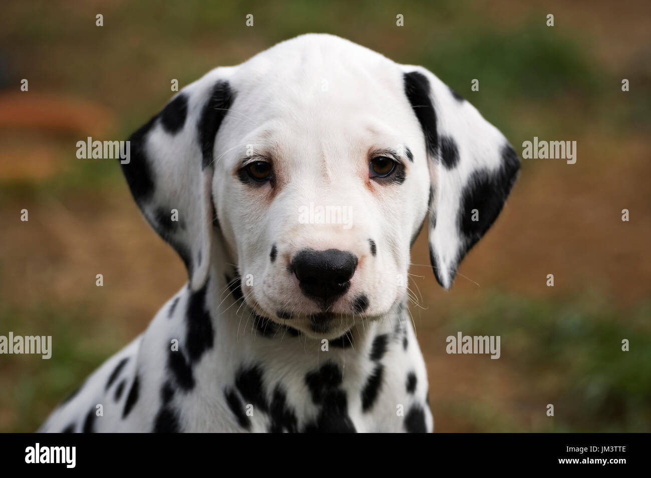 portrait of dalmatian puppy 8 weeks old - Stock Image