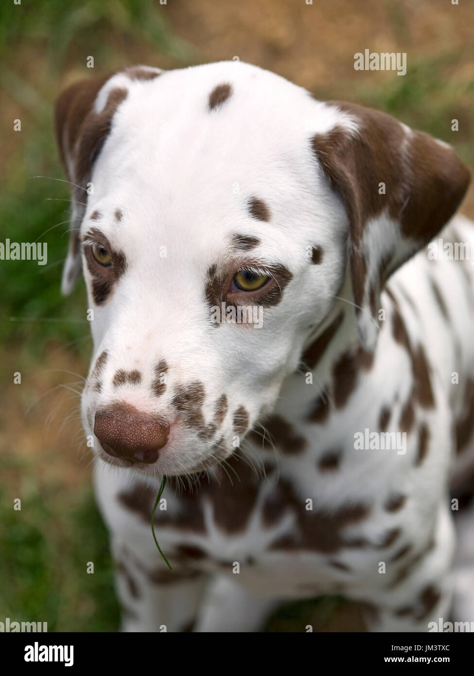 headshot of a liver colored dalmatian puppy - Stock Image