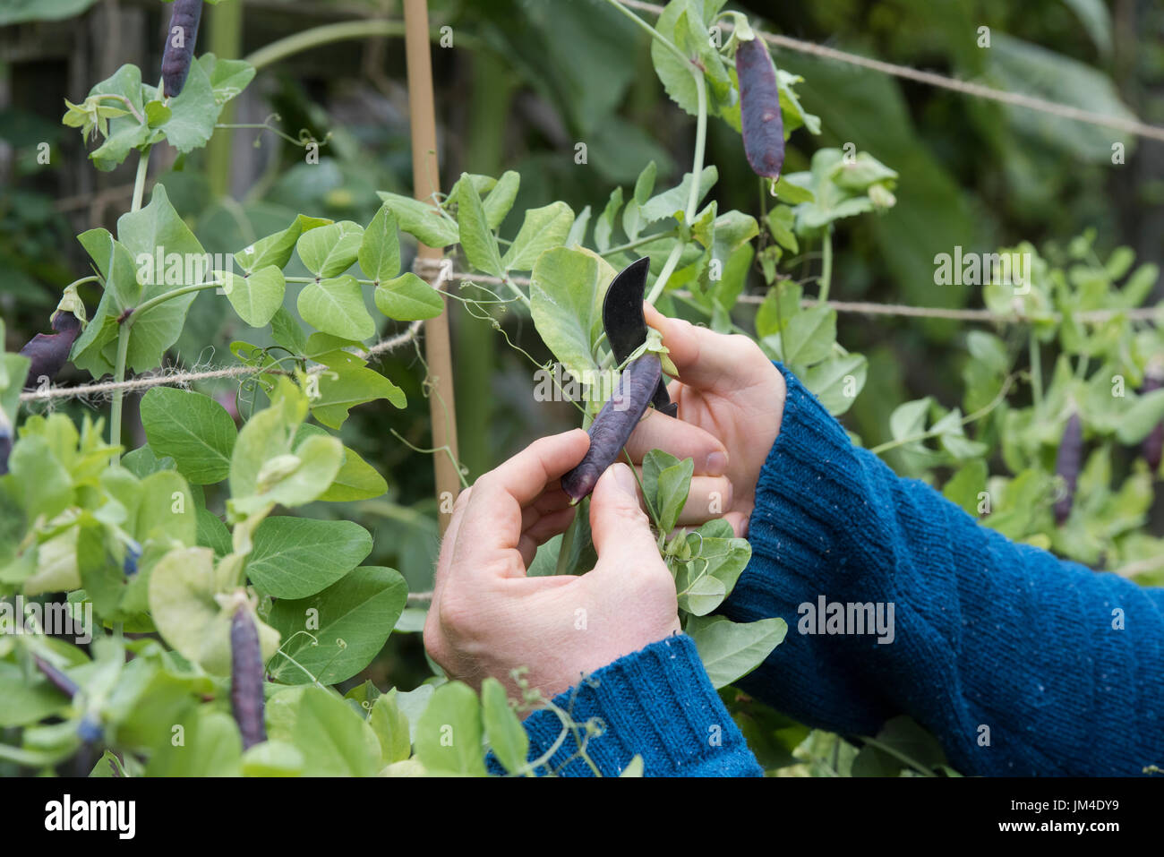 Pisum sativum. Gardener using an old gardeners pocket knife to cut Purple Podded pea pods from the plant in an english vegetable garden. UK - Stock Image