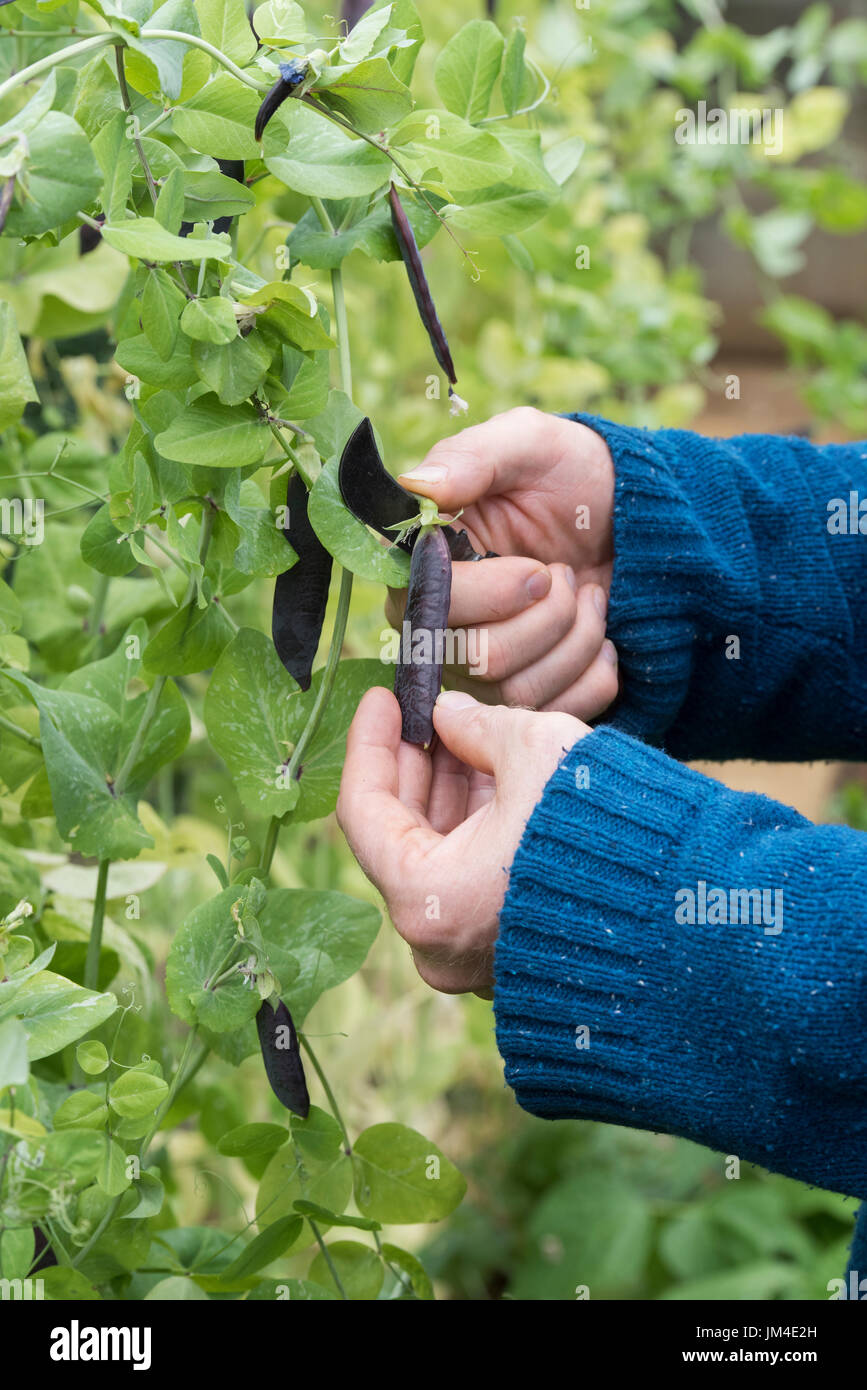 Pisum sativum. Gardener using a gardeners pocket knife to cut Purple Podded pea pods from the plant in an english vegetable garden. UK - Stock Image