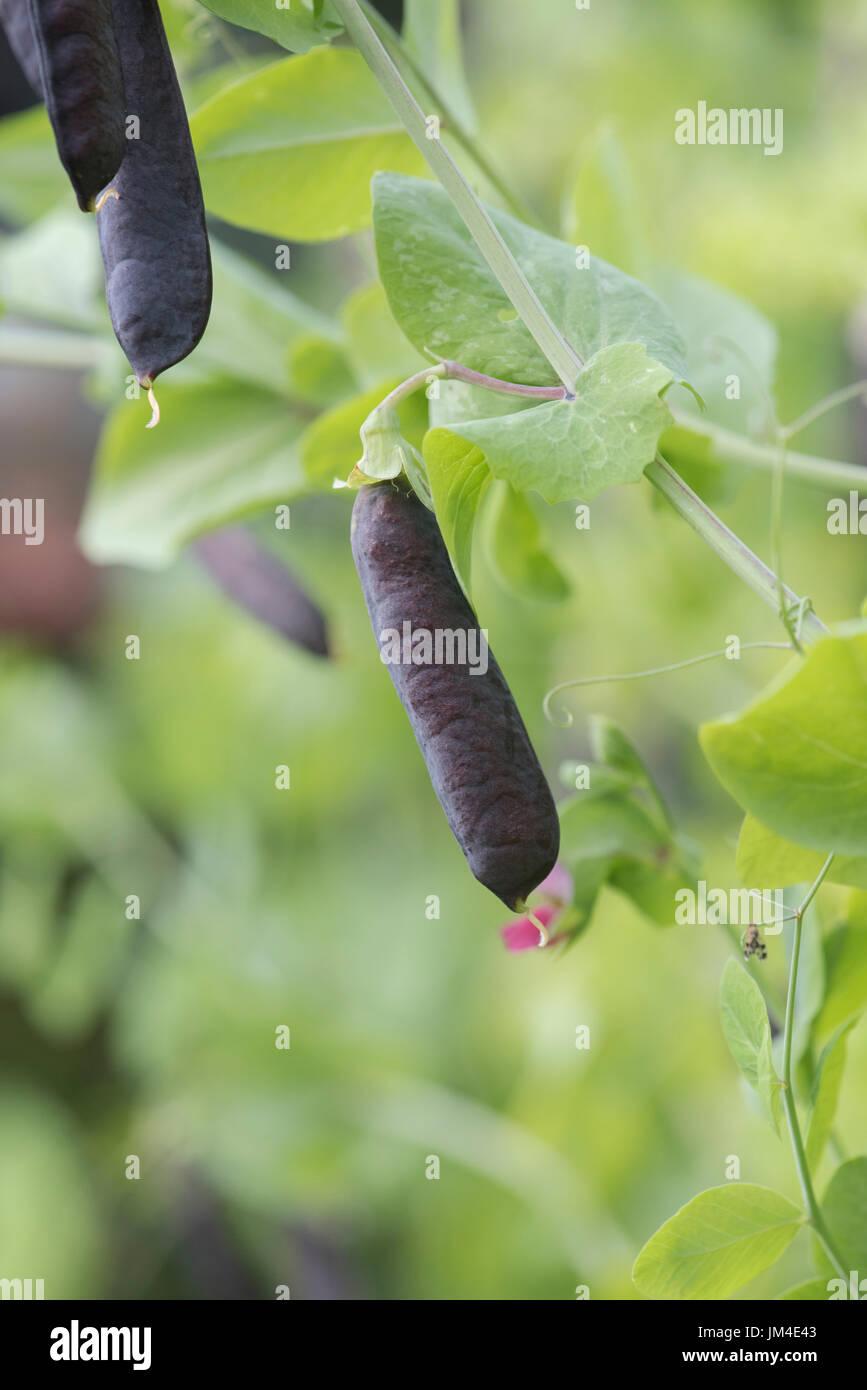 Pisum sativum. Purple Podded pea pods in an english vegetable garden. UK - Stock Image