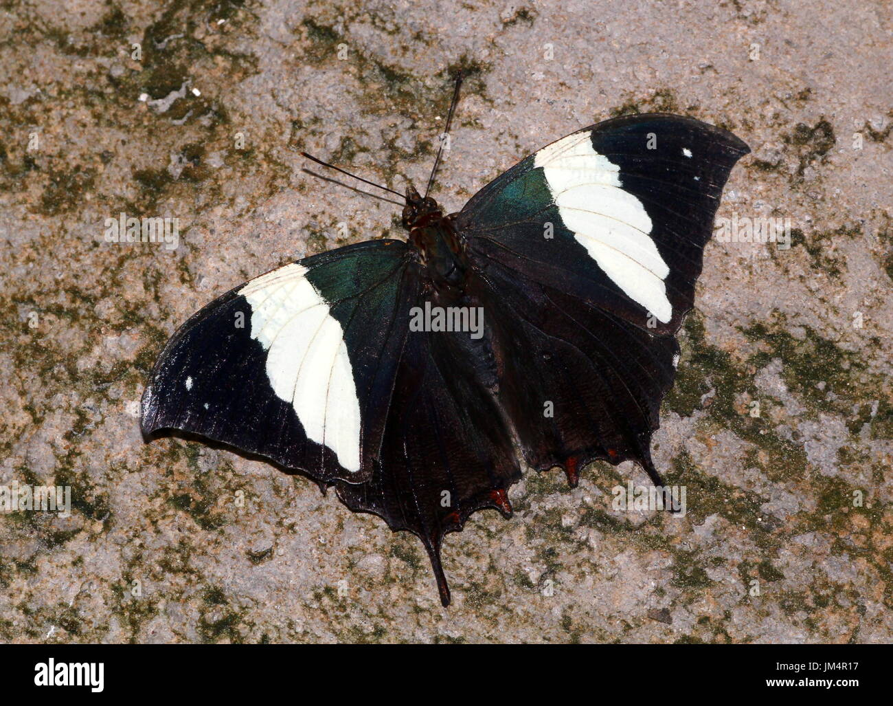 Central / South American Silver studded Leafwing Butterfly (Hypna clytemnestra), dorsal view.  A.k.a. Jazzy Leafwing or Marbled Leafwing. Stock Photo