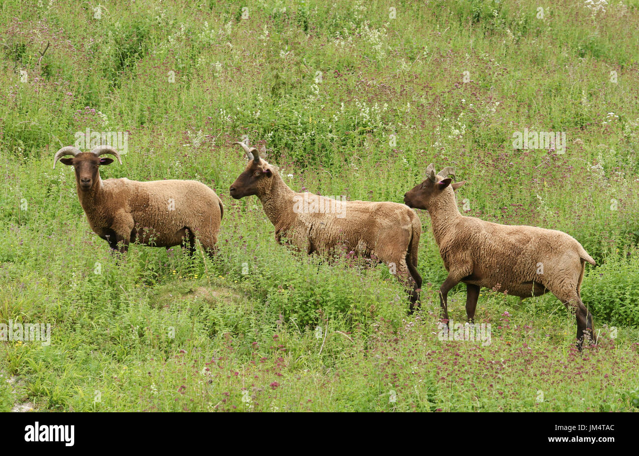 A small herd of rare breed Manx Loaghtan Sheep (Ovis aries) grazing on a herb covered hillside. - Stock Image
