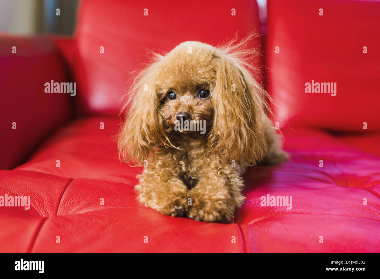 Toy poodle lies on the red couch Stock Photo