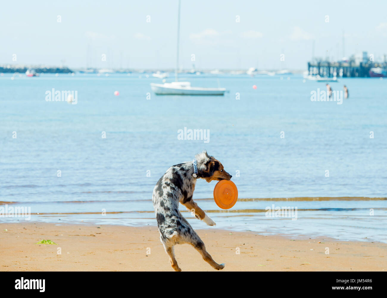 Gorgeous Australian Shepherd tri color merle dog on the beach leaping from behind catching orange frisbee west paw Stock Photo