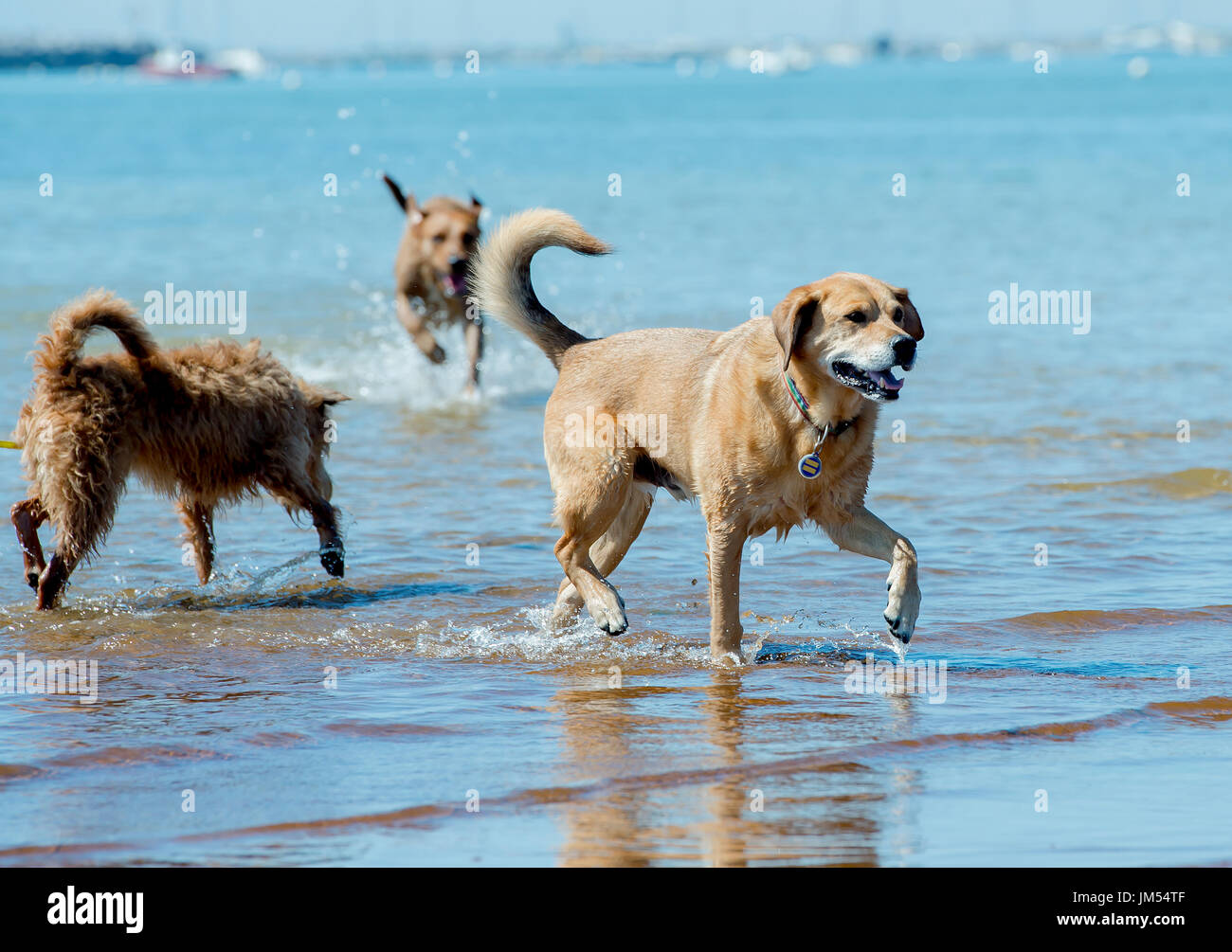 happy dogs running free playing frolicking on the beach in shallow water Provincetown, MA - Stock Image