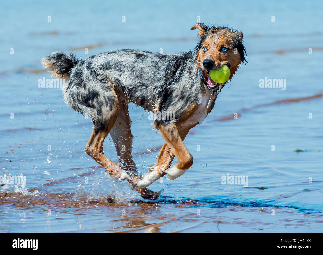 6e0ee2d4e Beautiful, stunning tri color Australian Shepherd dog running and playing  with tennis ball in mouth in shallow ocean water
