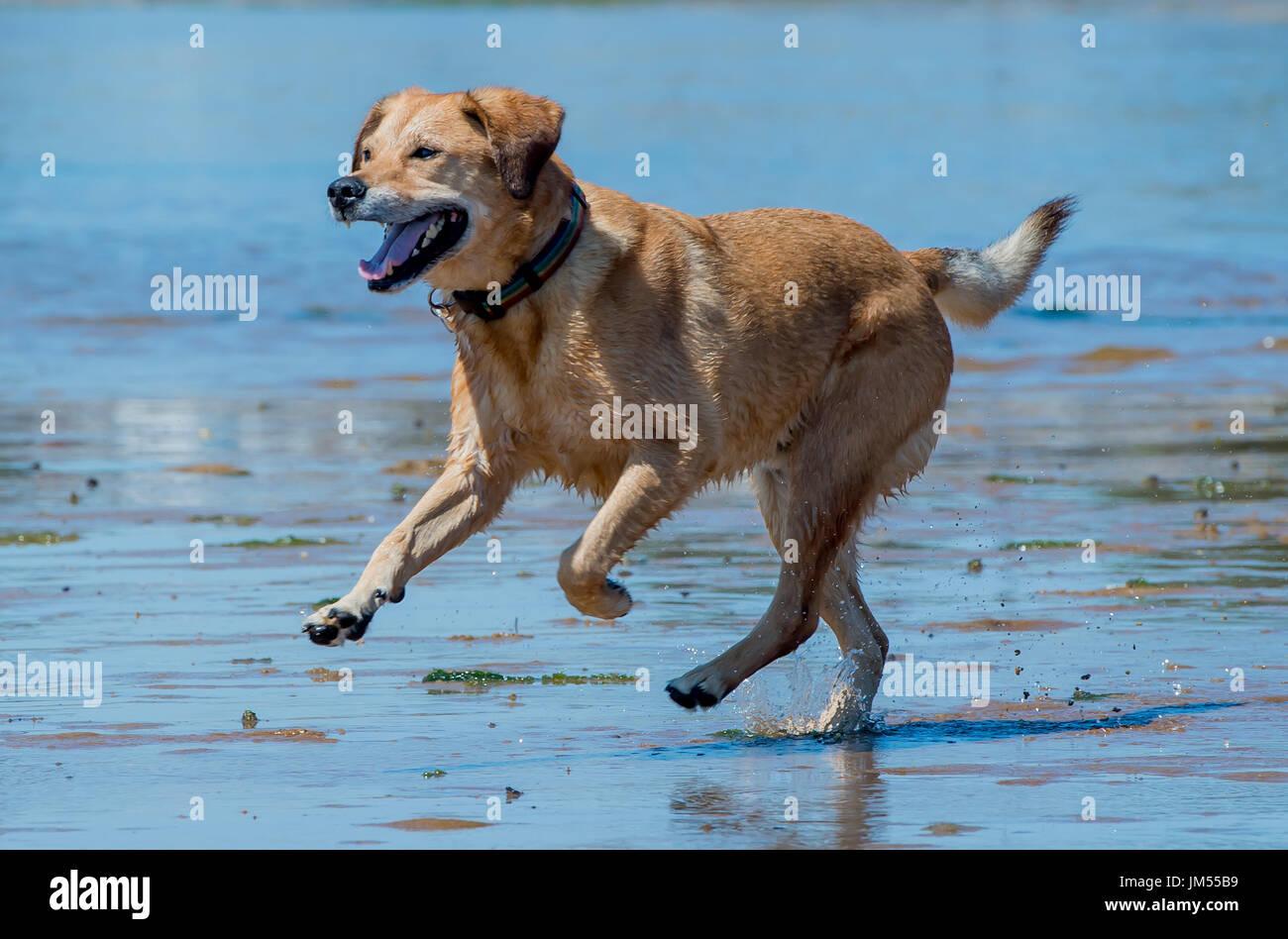 Lab Mix Dog Stock Photos & Lab Mix Dog Stock Images - Alamy