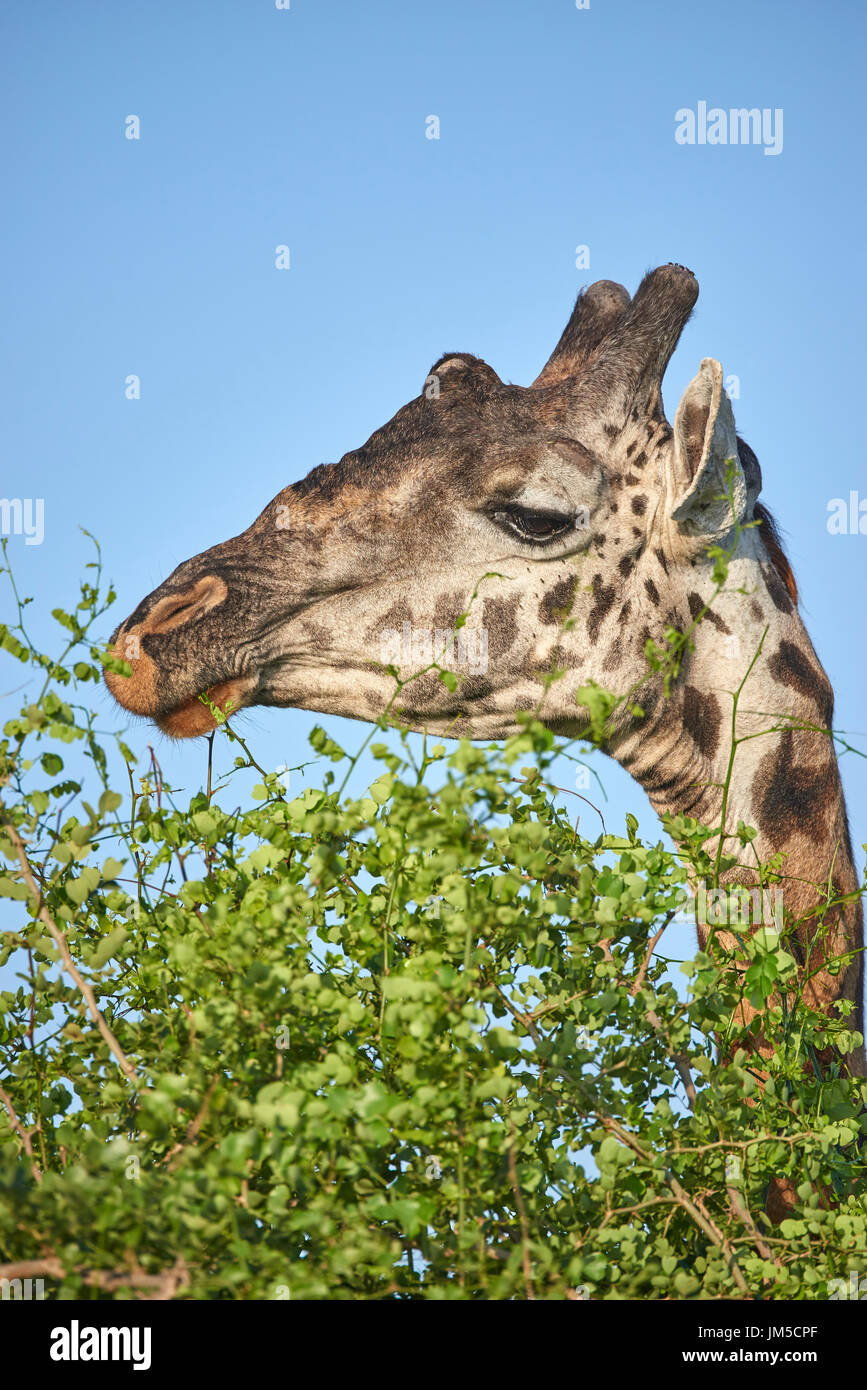Adule male Masai giraffe (Giraffa tippelskirchi) eating leaves from a treetop tree top. Copy space. - Stock Image