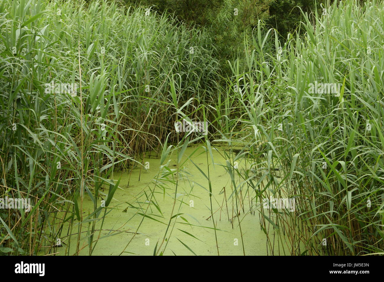 Lakeside grasses with algae in the west Ireland Stock Photo