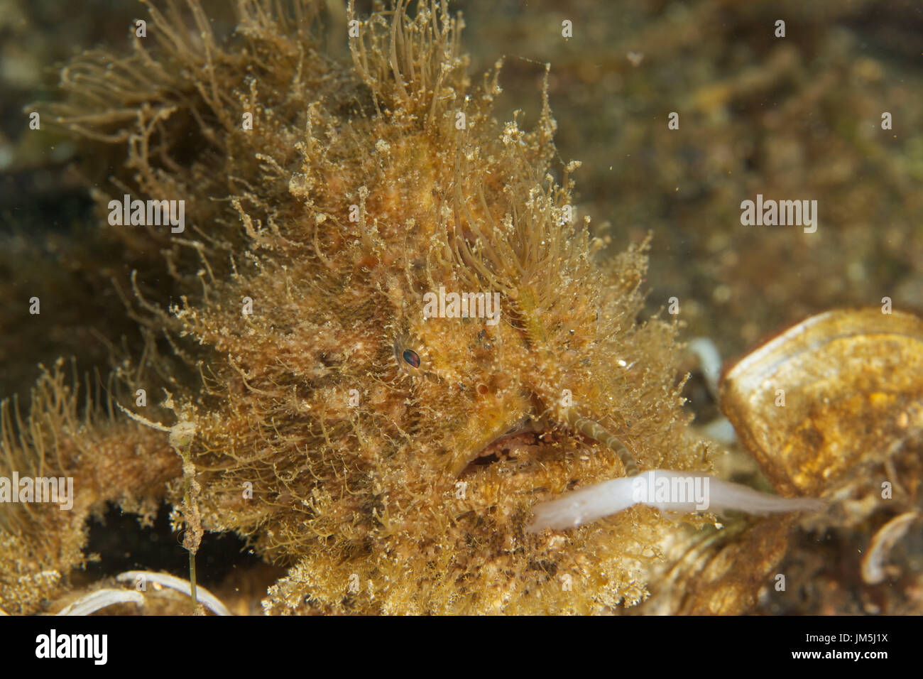 Muck diving, Lembeh Straits, Indonesia - Stock Image