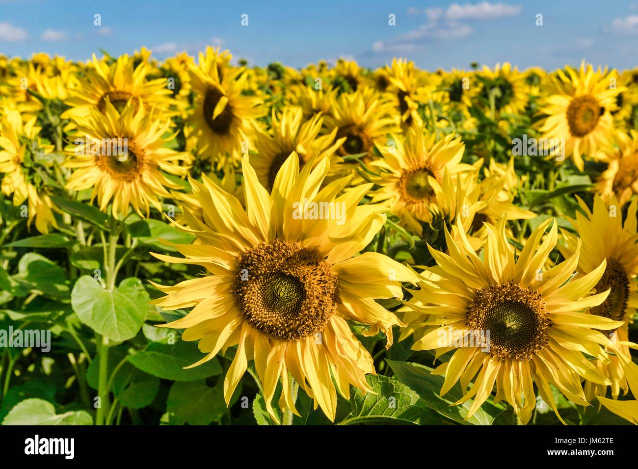 Fields of sunflowers in a farm close to Hitchin - Stock Image