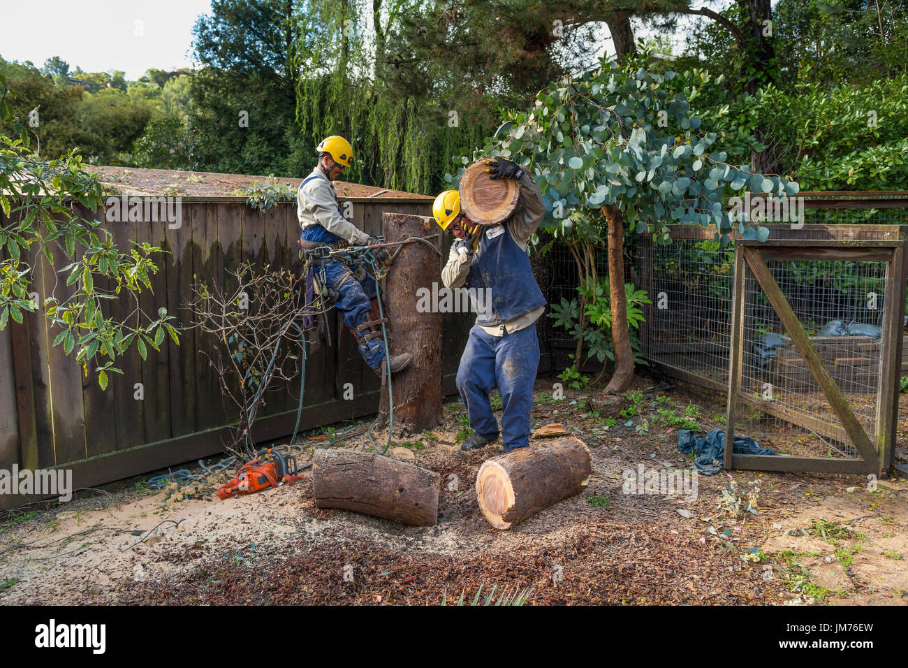 tree trimmers, tree trimming service, cutting down eucalyptus tree, using chainsaw, tree care, lumberman, city of Novato, Marin County, California - Stock Image
