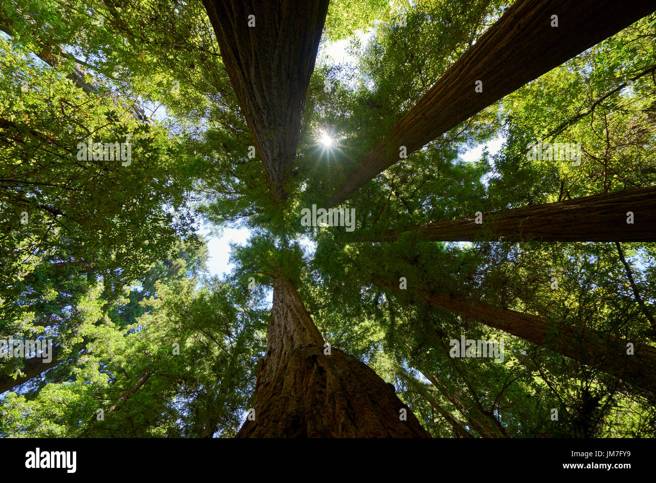 finding sun beyond the soaring Redwood trees - Stock Image