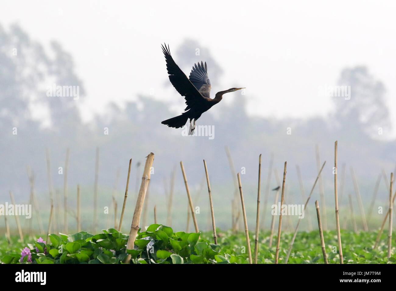 Oriental Darter also known as Shap-pakhi, at Baikka Beel in Moulvibazar district in Bangladesh. - Stock Image