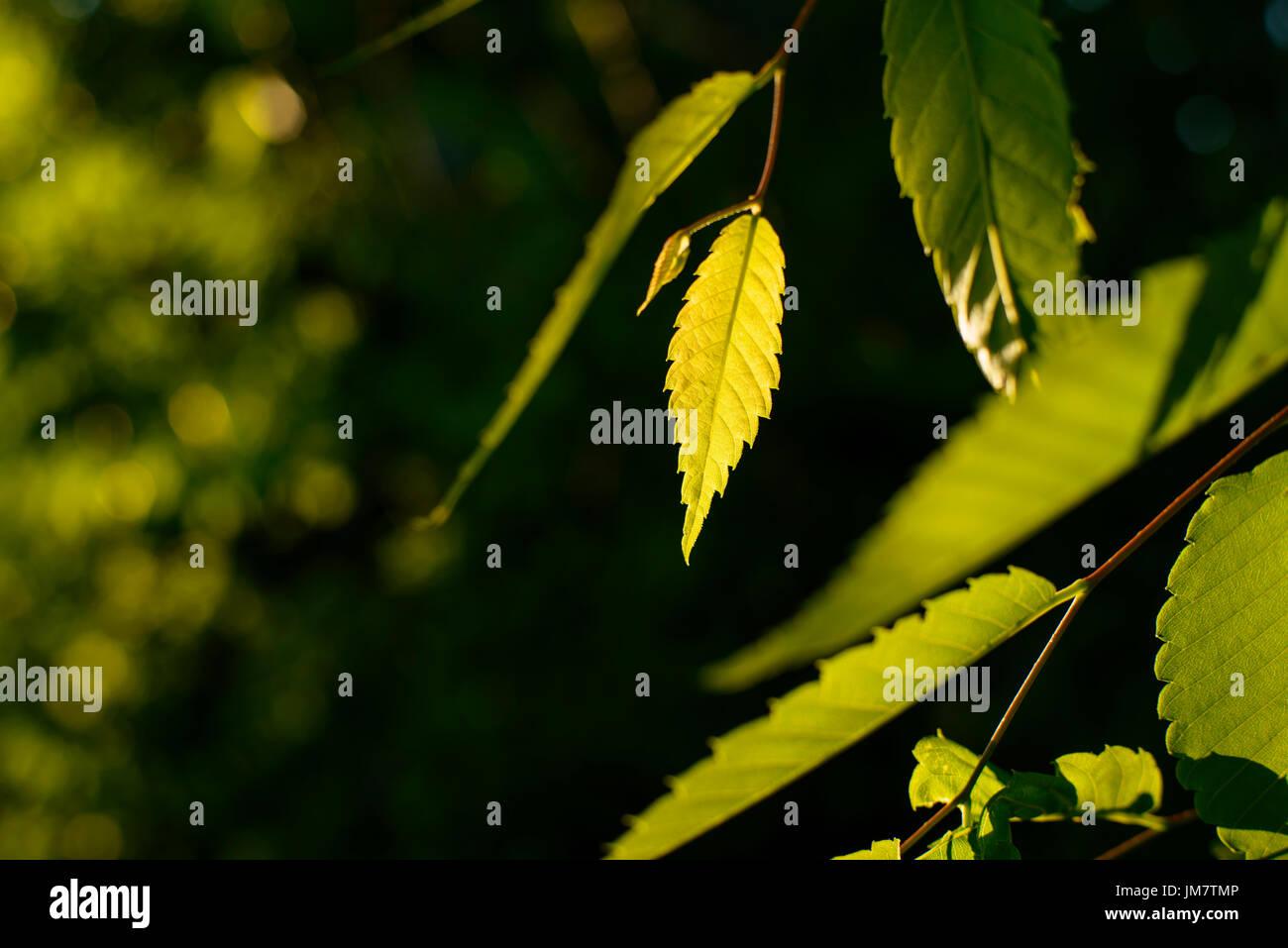 Zelkova leaves are in backlight. - Stock Image