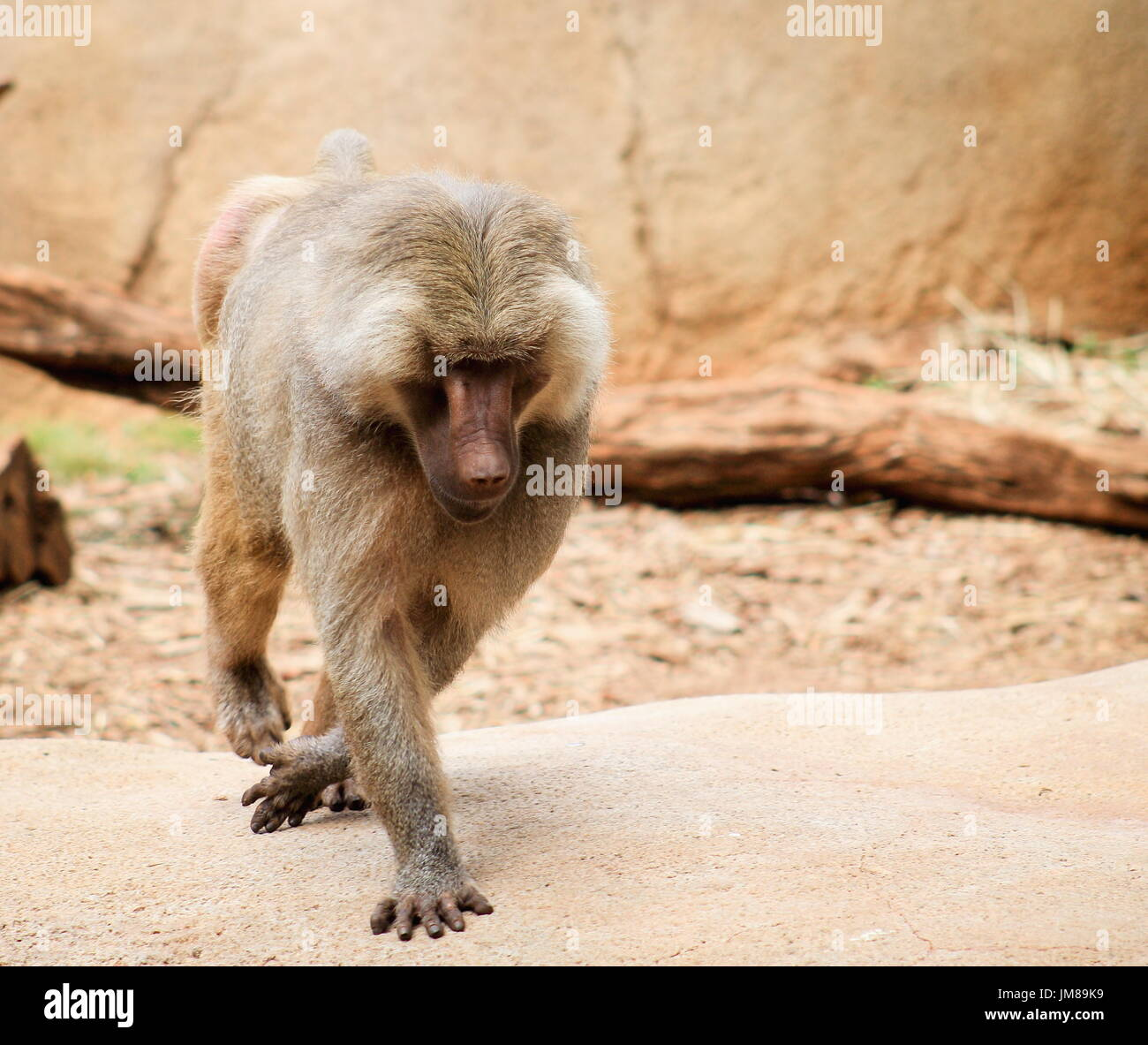 The hamadryas baboon - a species of baboon from the Old World monkey family. - Stock Image
