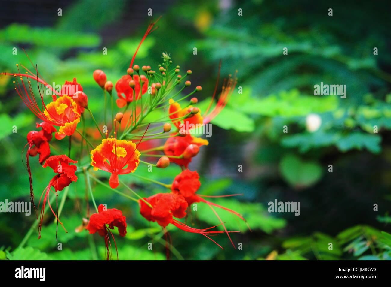 Close up of dwarf poinciana - Caesalpinia pulcherrima - Stock Image