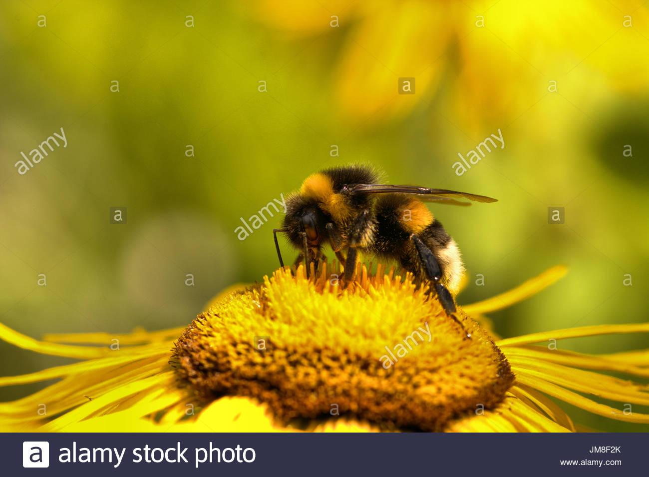 Eine dunkle Erdhummel, Bombus terrestris sammelt Pollen / Nektar auf der gelben Bluete einer Staude - Grosse Telekie Stock Photo