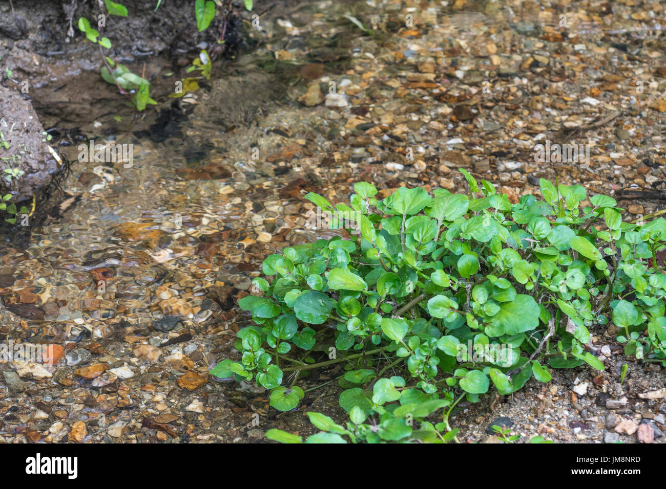 Small patch of wild Watercress / Nasturtium officinale growing wild beside a freshwater stream. Concept water source, Stock Photo