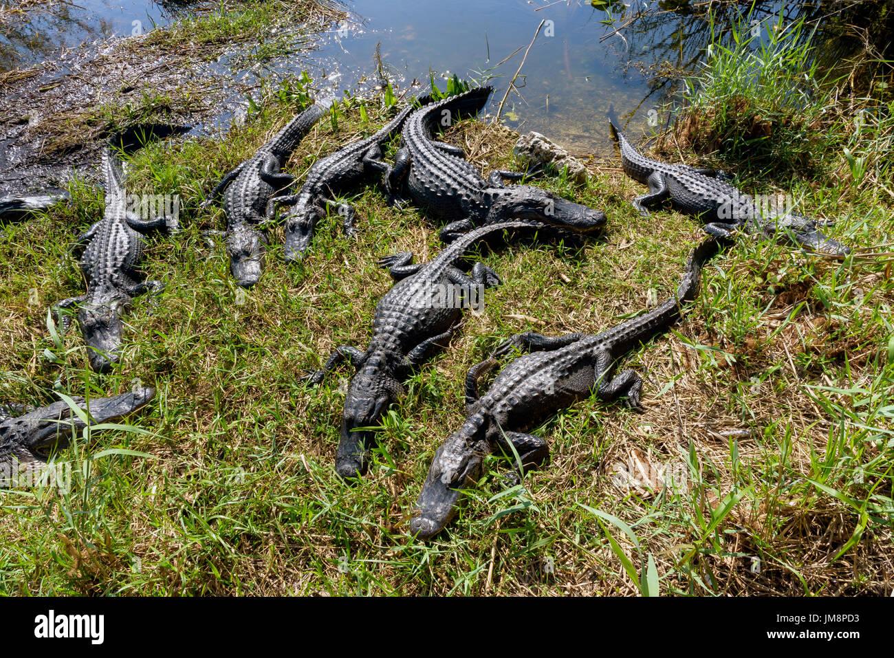 American alligators (Alligator mississippiensis) basking, Anhinga Trail, Everglades National Park, Florida, USA - Stock Image
