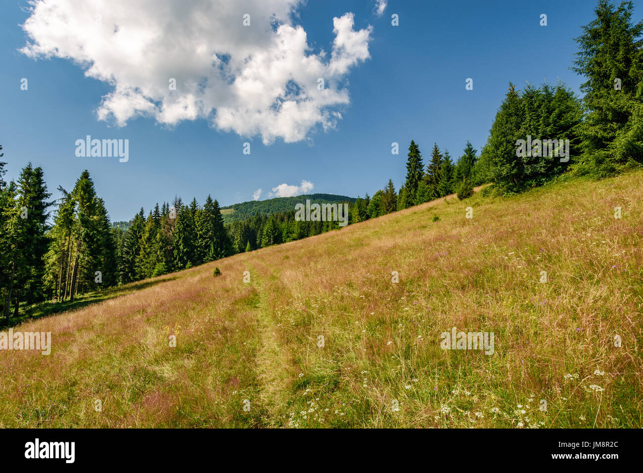 Classic Carpathian landscape. Conifer forest on hillside meadow of mountain ridge. Fresh and green trees under blue sky with clouds - Stock Image