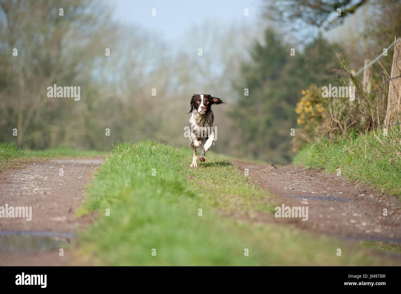 Springer spaniel running - Stock Image