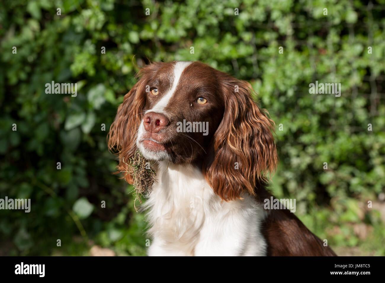 Springer spaniel in a field - Stock Image