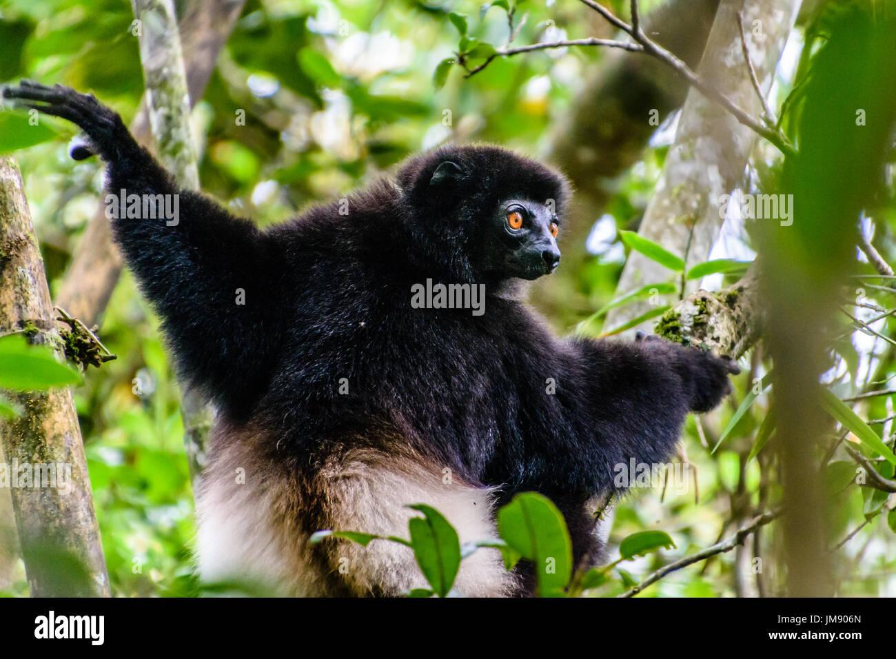 Beautiful Milne-Edwards Sifaka sitting on branch in rainforest of Madagascar Ranomafana national Park - Stock Image