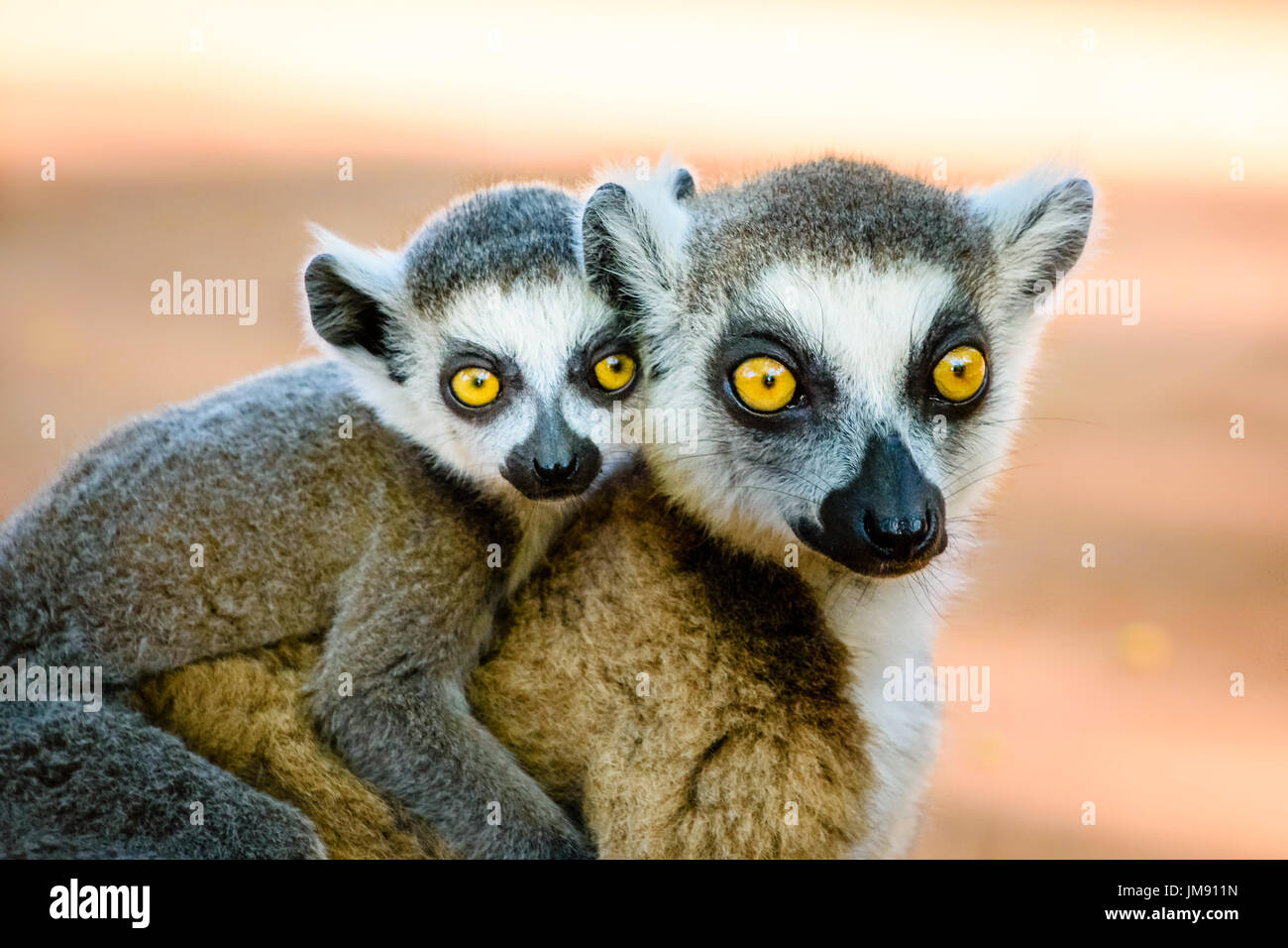 Cute ring tailed lemur carrying baby on back looking into camera with beautiful eyes - Stock Image