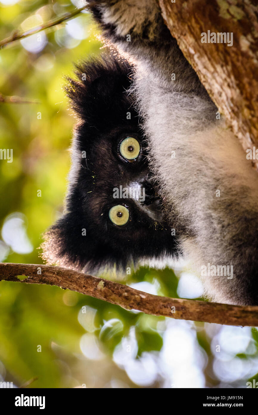 Close up face shot of teddy bear like endangered Indri in tree with leaves - Stock Image