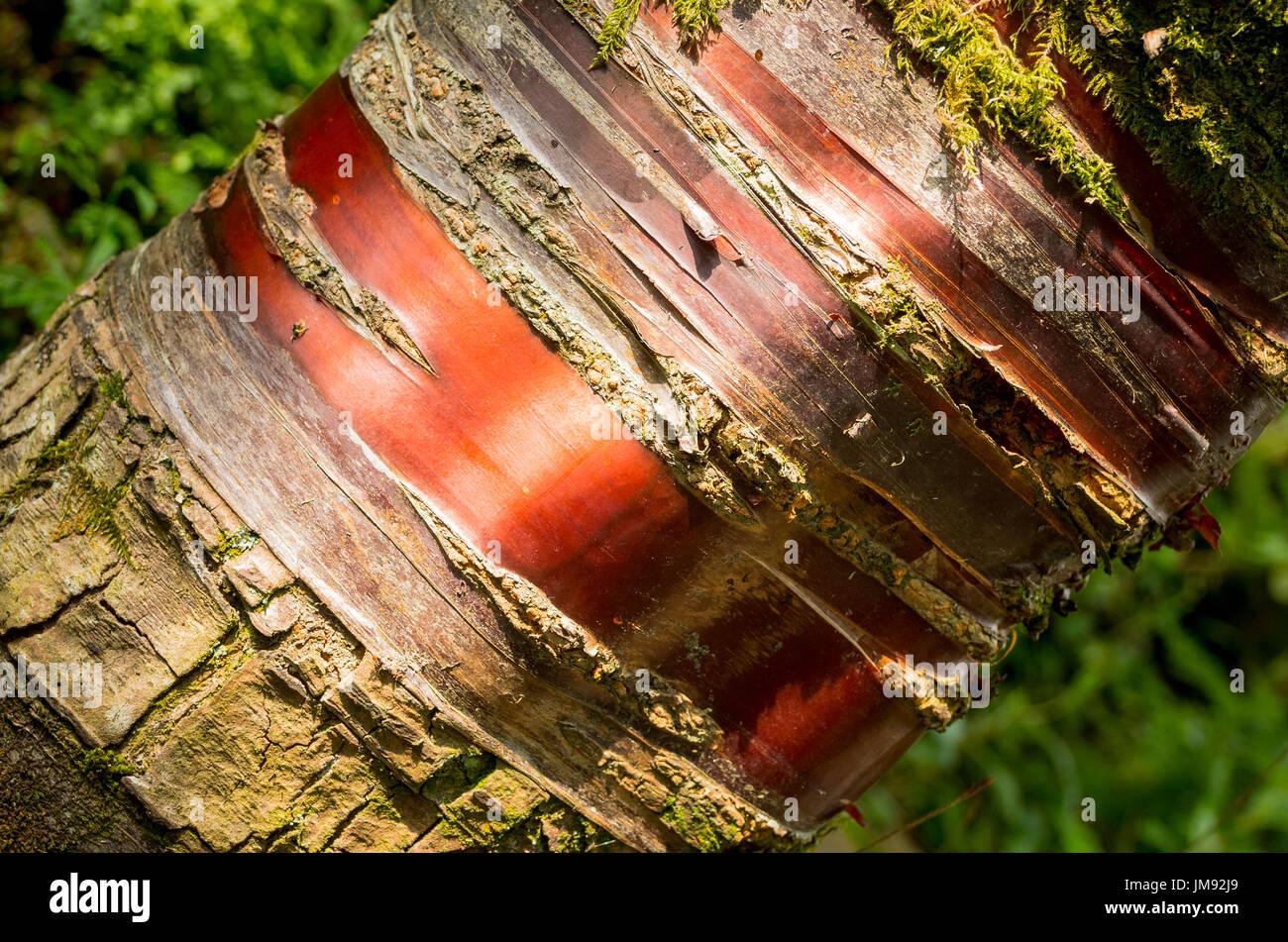 Polished mahogany-like bark of prunus serrula tree in UK - Stock Image