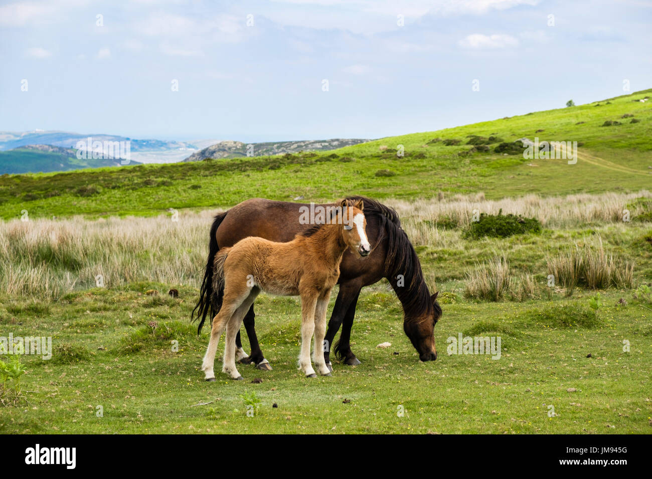Wild Welsh Mountain Pony mare mother with a foal in Carneddau mountains of northern Snowdonia National Park. Penmaenmawr Conwy North Wales UK - Stock Image