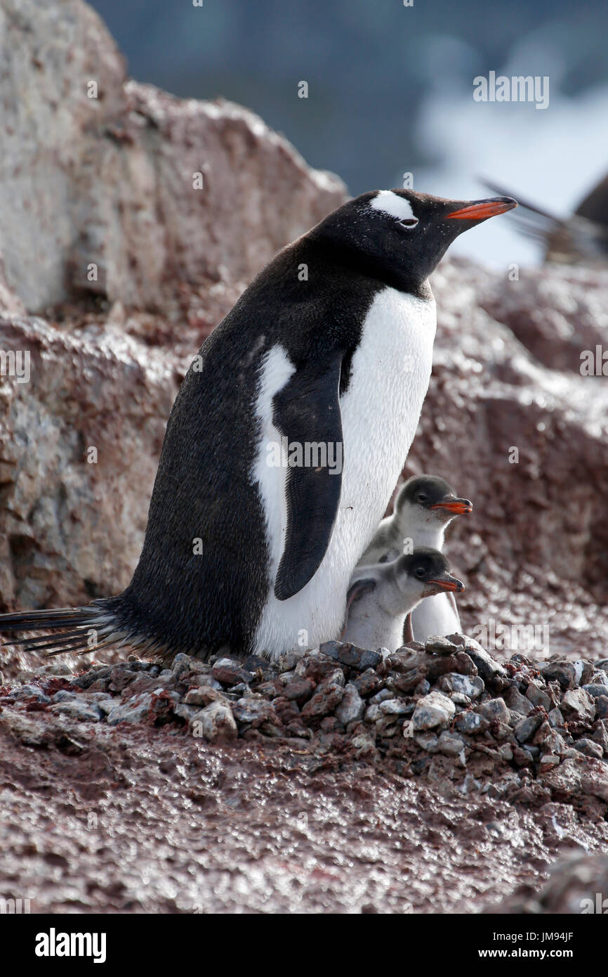 Gentoo Penguin (Pygoscelis papua) mother and her two curious babies at their nest - Stock Image