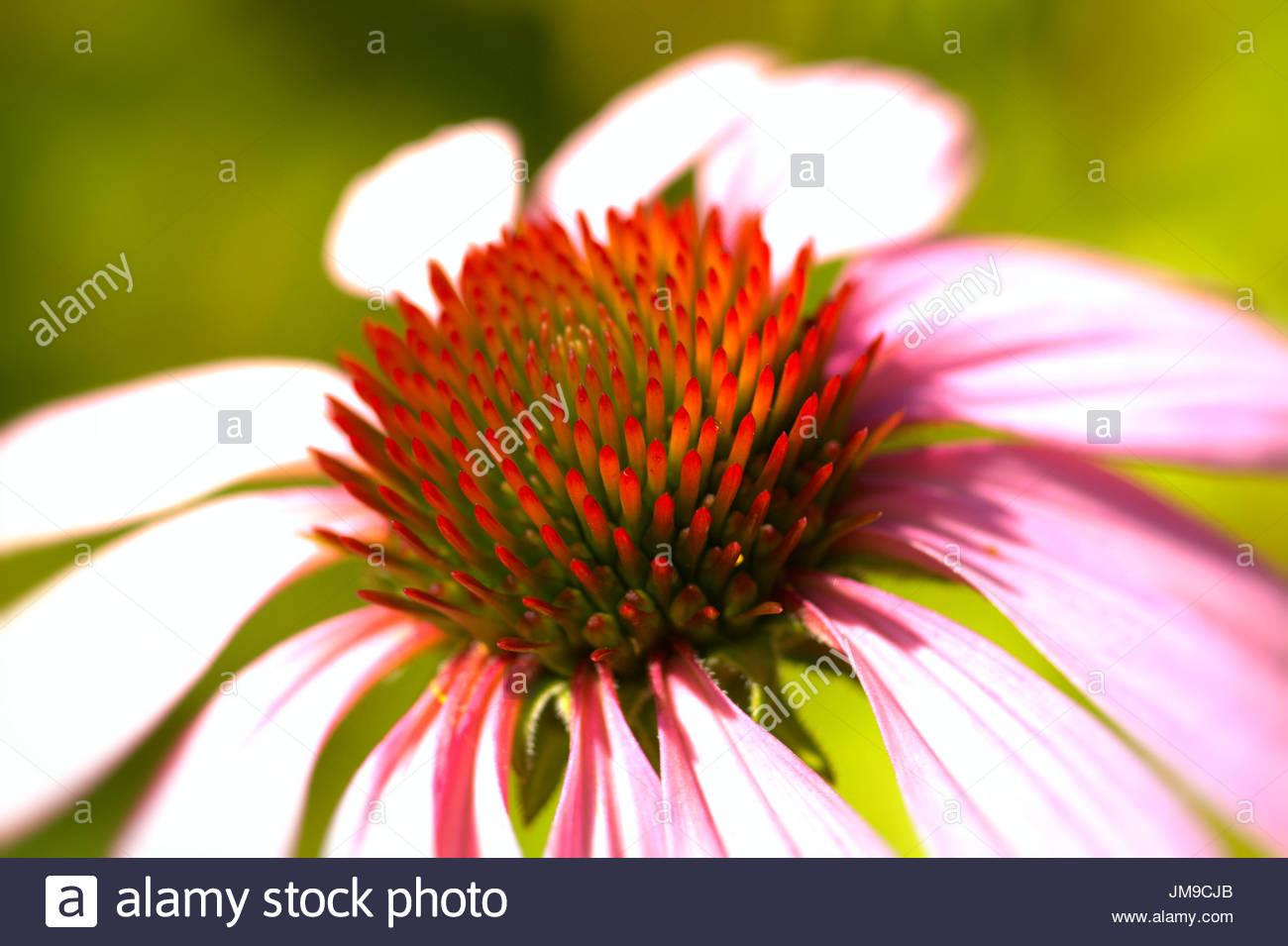 Purpur-Sonnenhut - Echinacea purpurea, auch Roter Scheinsonnenhut genannt. Nahaufnahme der Blüte mit dem konischen Bluetenkorb. - Stock Image