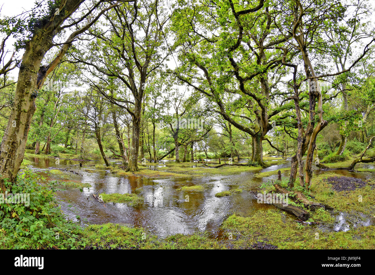 "Flooded New Forest stream on a wet summers day, ""Ober Water"", New Forest National Park, Brockenhurst, Hampshire, Stock Photo"