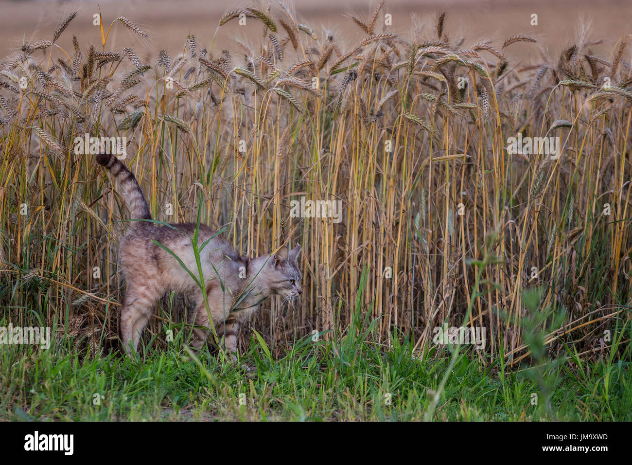 Vigilant cat with arched spine hunting mice at wheat field in summer evening - Stock Image