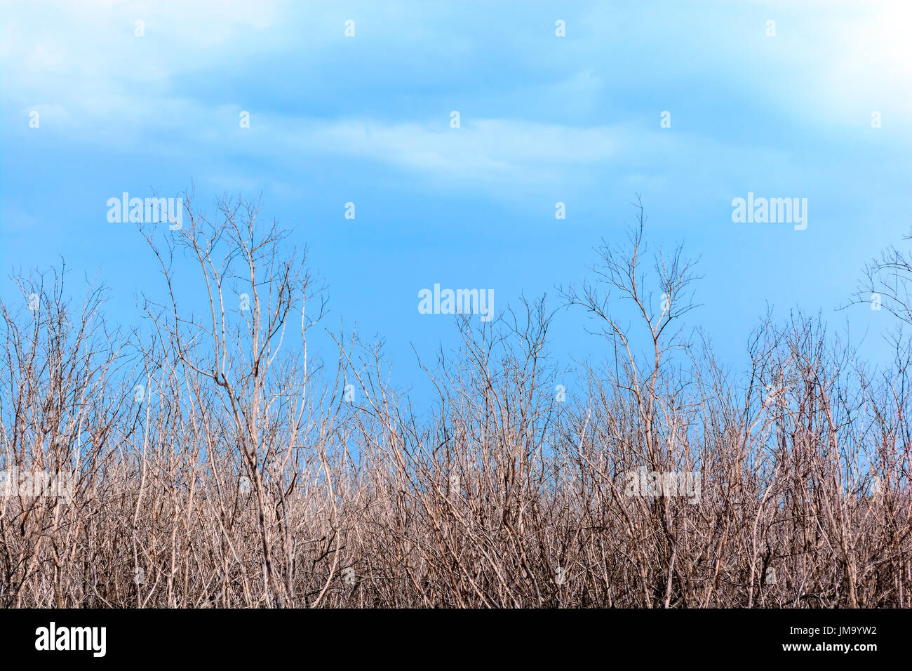 Dead trees with blue sky and clound - Stock Image