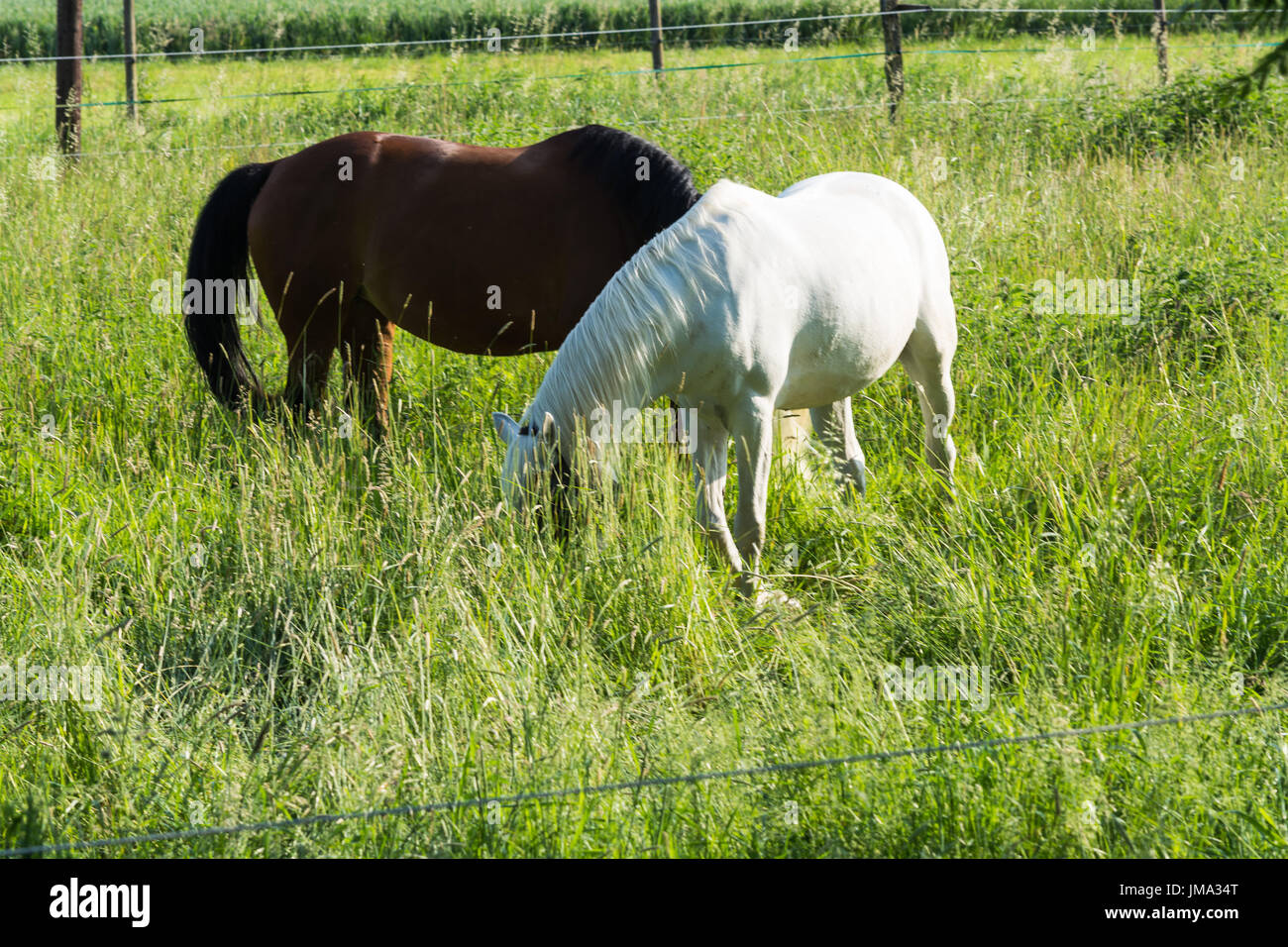 White and brown horse on a horse paddock. - Stock Image