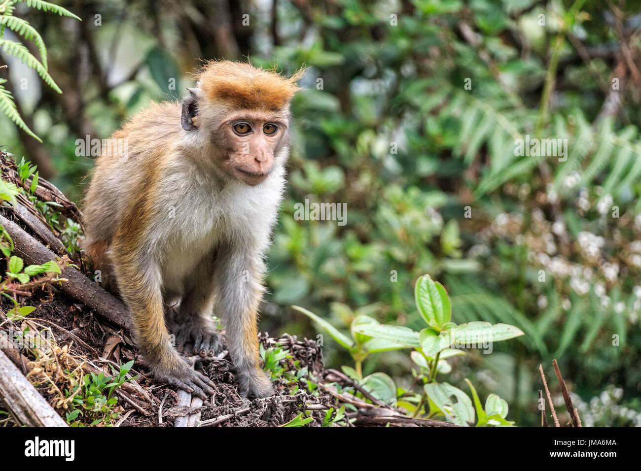 Photograph of Sri-Lankan toque macaque or Macaca sinica - Stock Image
