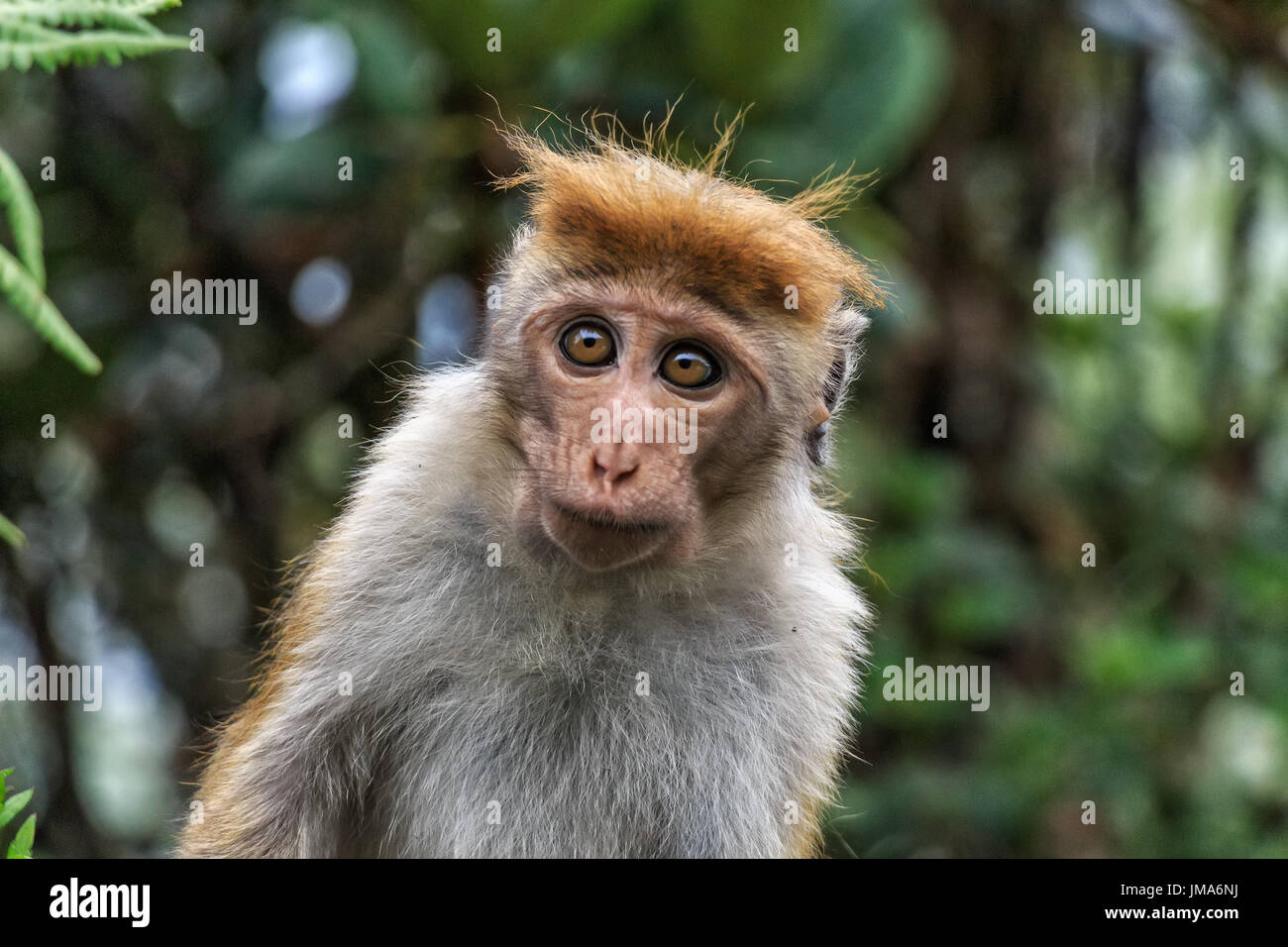 Close-up of Sri-Lankan toque macaque or Macaca sinica - Stock Image