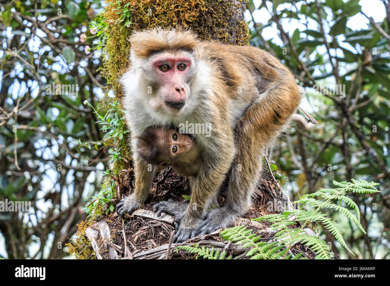 Mother and baby of Sri-Lankan toque macaque or Macaca sinica - Stock Image