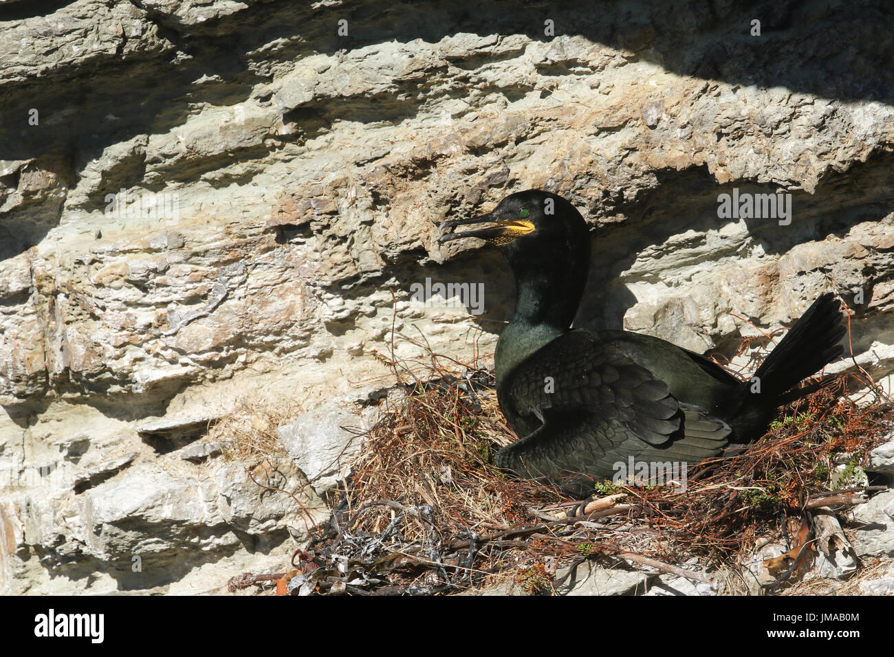 A Shag (Phalacrocorax aristotelis) sitting on its nest on the cliffs, with its baby showing underneath it. - Stock Image