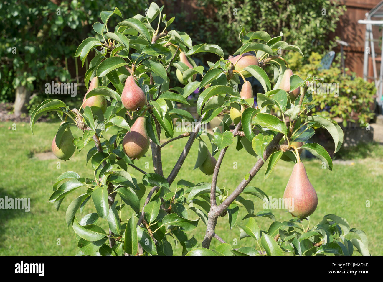 Ripening fruit on pear tree (Pyrus communis) Concorde, north east England, UK - Stock Image