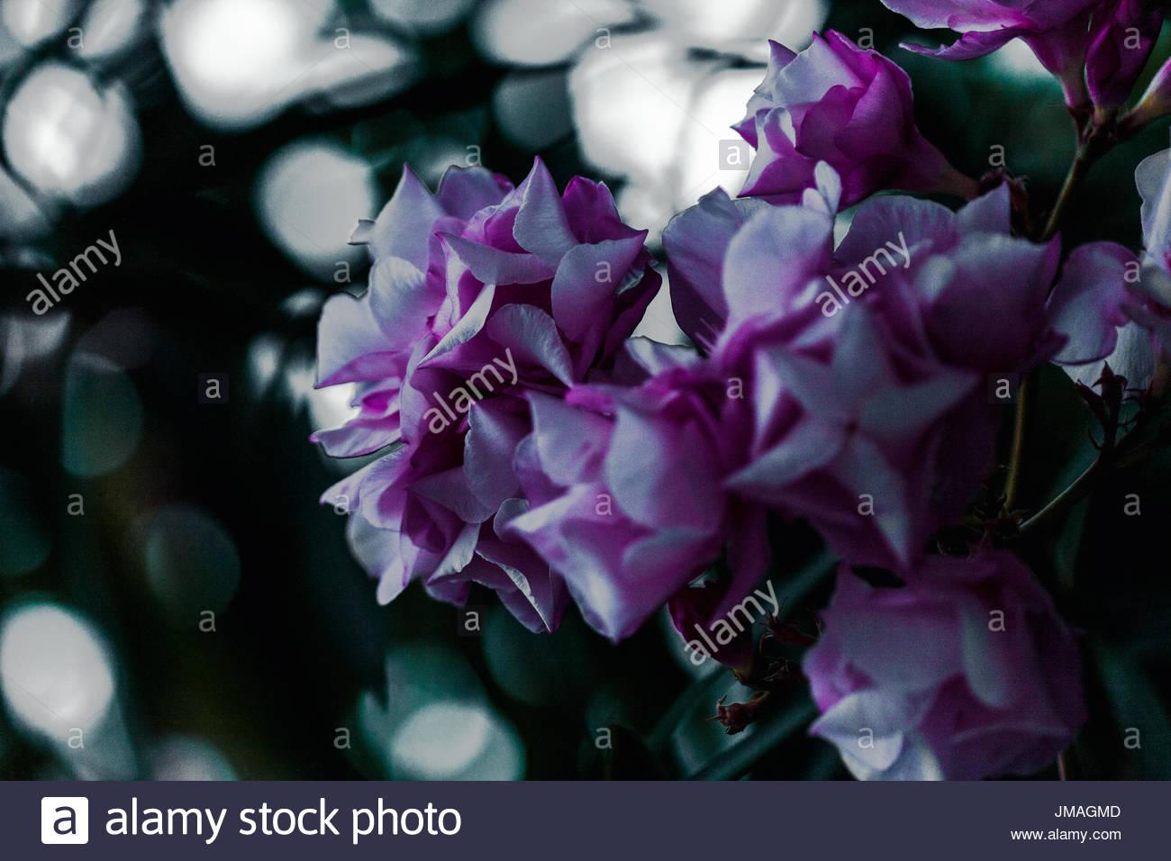 Flower in Albenga, Liguria, Italy. - Stock Image