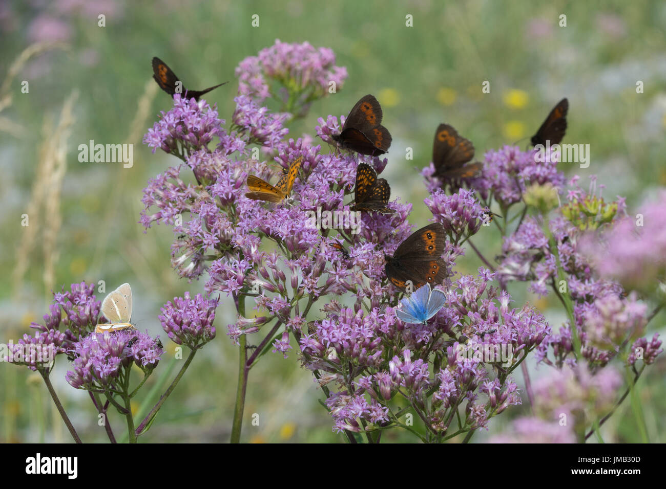 Large number of butterflies of mixed species nectaring on pink valerian wildflowers in the French Alps - Stock Image