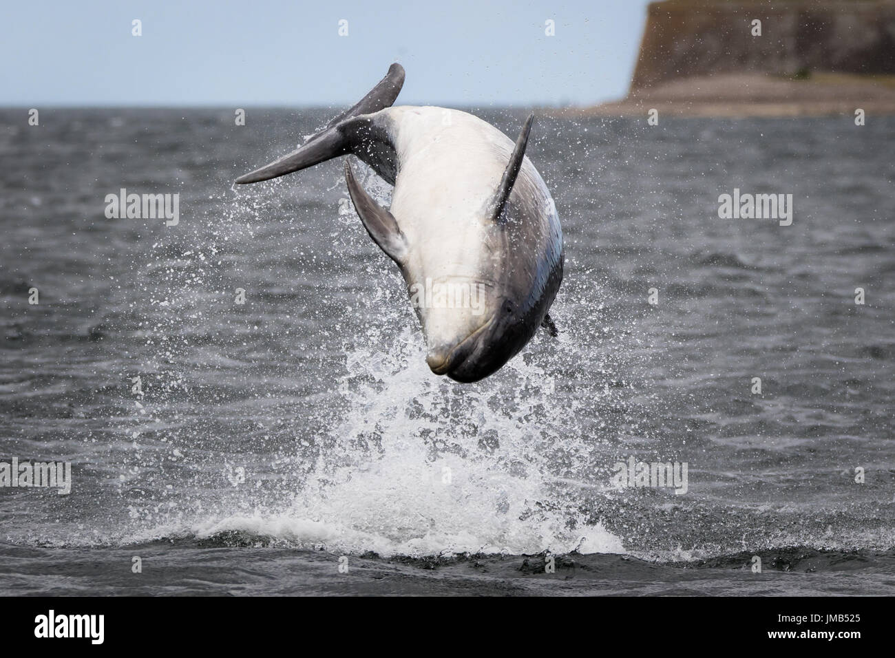 Dolphin backflip at Chanonry Point - Stock Image