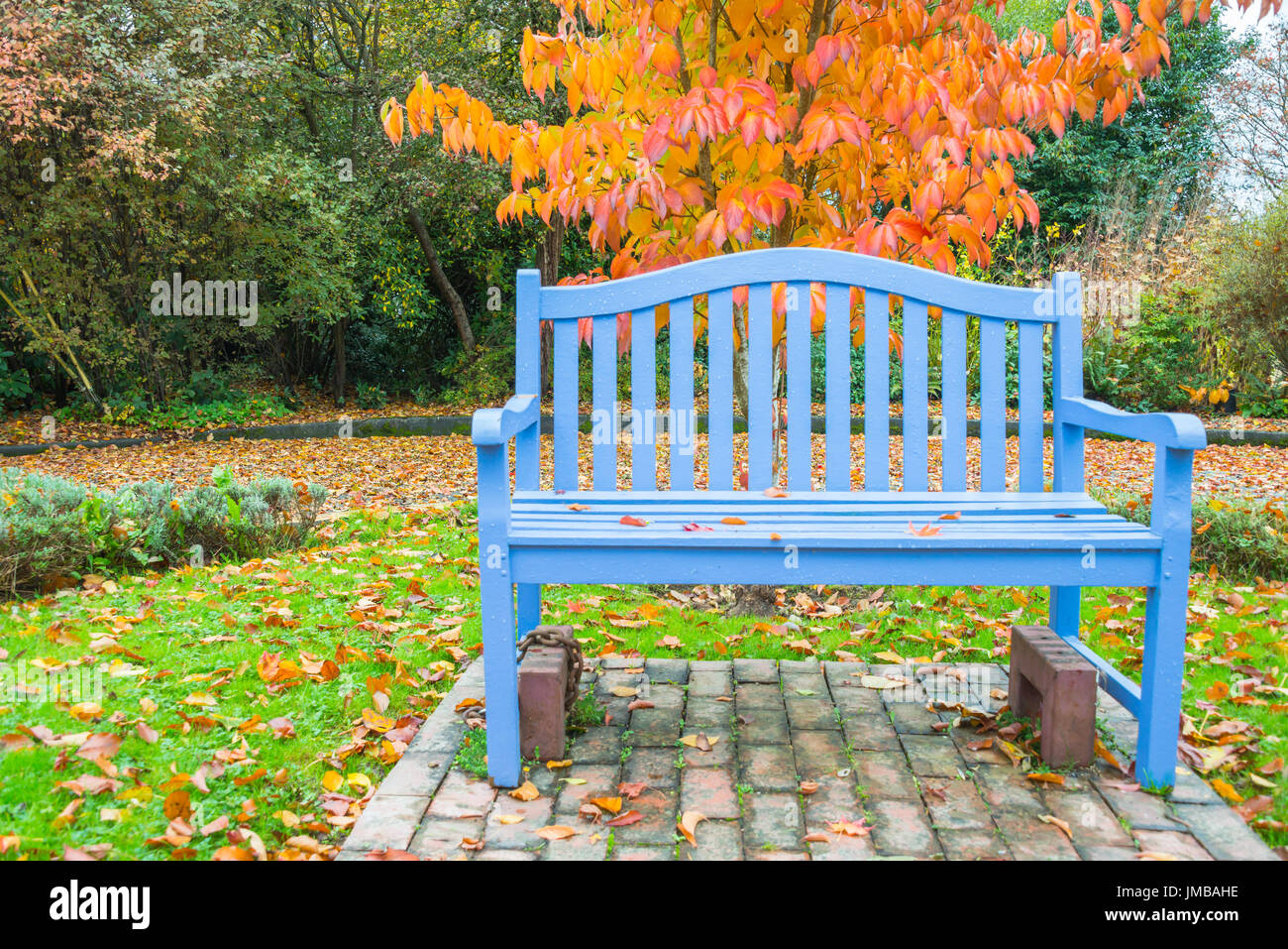 Sky Blue Bench in Park with Orange Autumn Color Tree - Stock Image